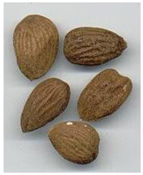 Bitter Almond - Iran Medical Herb Exporter