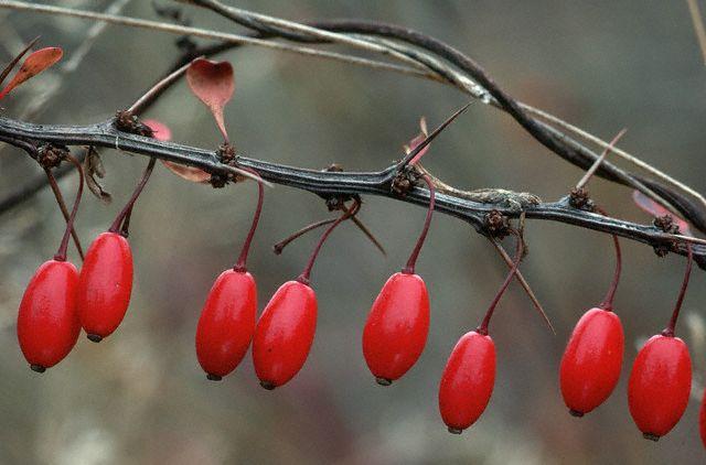 barberry - Iran Medical Herb Exporter