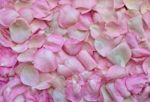 Pink Rose Petal (Without hip), Iran Pink Rose, Iranian Pink Rose, Persian Pink Rose, Exporting Iran medical herb